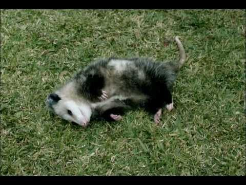 00b7dc8650fc8cd7cb5435f1e4d60401 a pet possum best geico commercial ever cry your eyes out funny