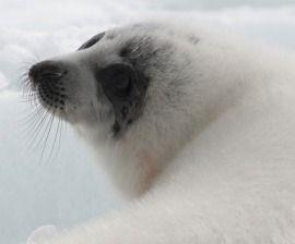 Historic Wto Ruling Upholds Eu Ban On Seal Product Trade Humane Society International Europe Animal Activist No Kill Animal Shelter