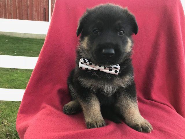 German Shepherd Dog Puppy For Sale In Colora Md Adn 49481 On