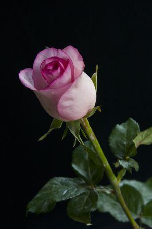 Gambar Kuncup Mawar Pink Desi