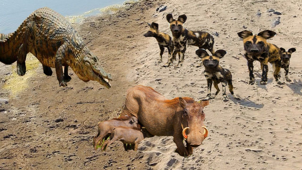Wilddogs Hotfoots Warthog To The Crocodile S Hunting Land And Take