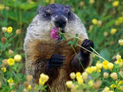 Groundhog Smelling Or Eating The Flowers Groundhog Pictures Happy Groundhog Day Animals