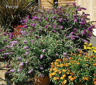 Cottage Farms 4-pc Buzz Butterfly Bush Collection