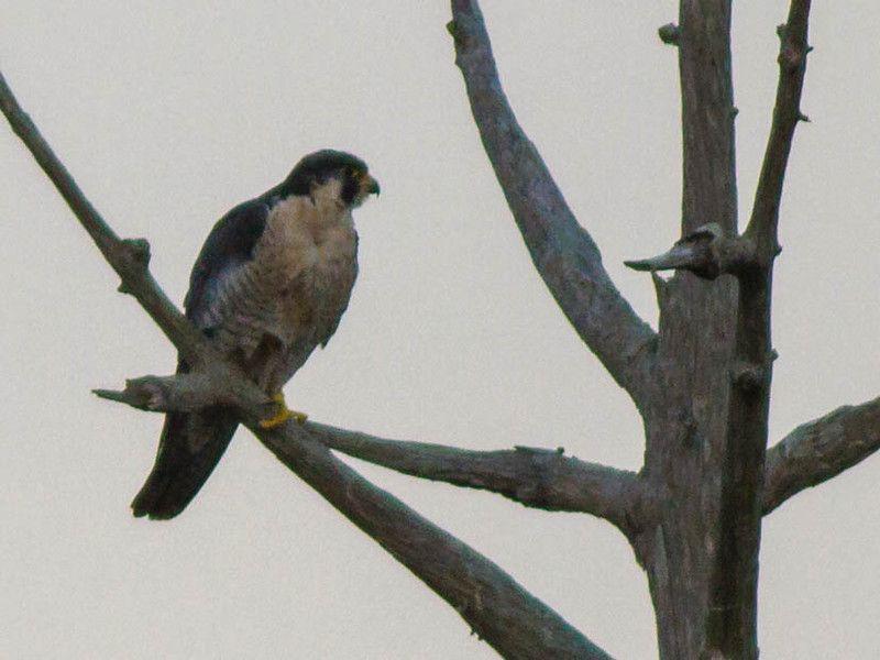 Peregrine falcon (Falco peregrinus) - Merritt Island NWR, 1/19/2013 » Focusing on Wildlife