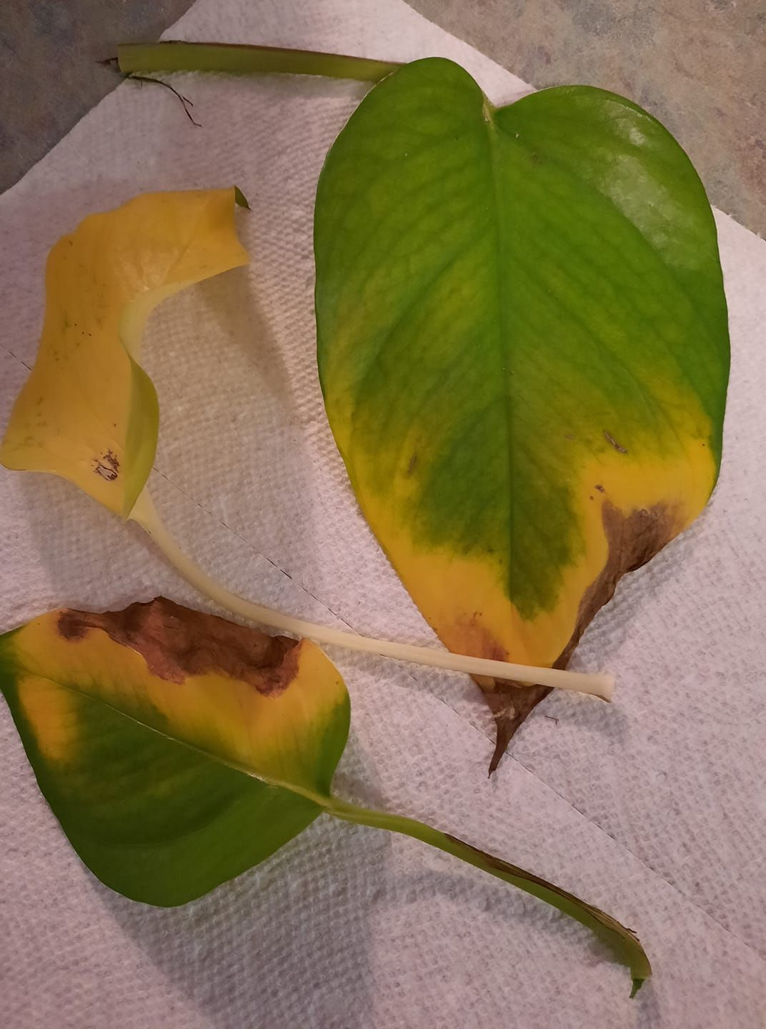 Pothos Plant With Brown And Yellow Leaves In 2021 Plant Leaves Turning Brown Philodendron Plant Pothos Plant