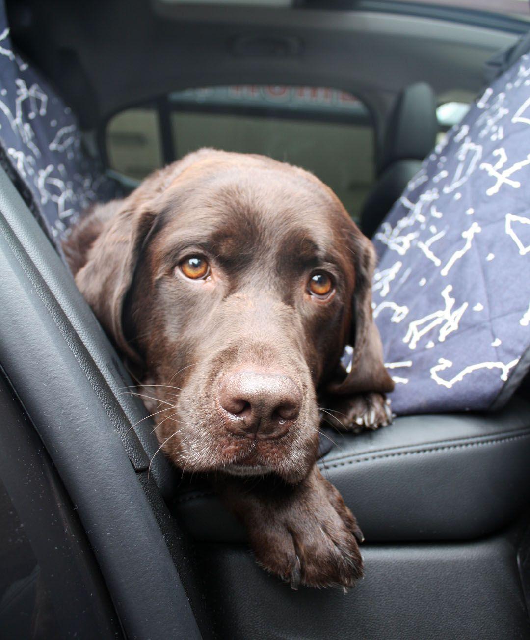 Love In His Eyes Black Labrador Retriever Labrador Retriever