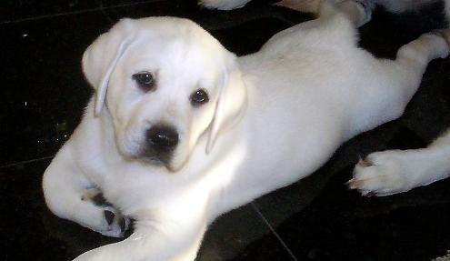 Stretching White Labrador Puppy White Labrador Labrador Puppy