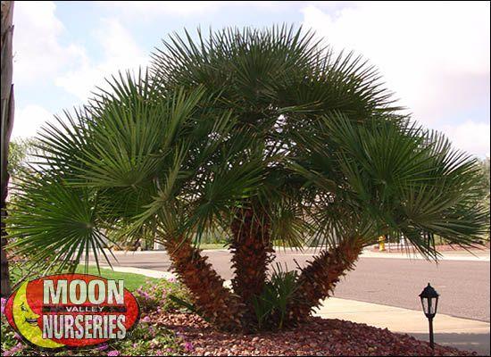Mediterranean Fan Palm For Cold Hardy Arizona Trees