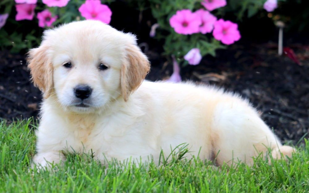 Julia Golden Retriever Puppies Corgi Puppies For Sale Welsh