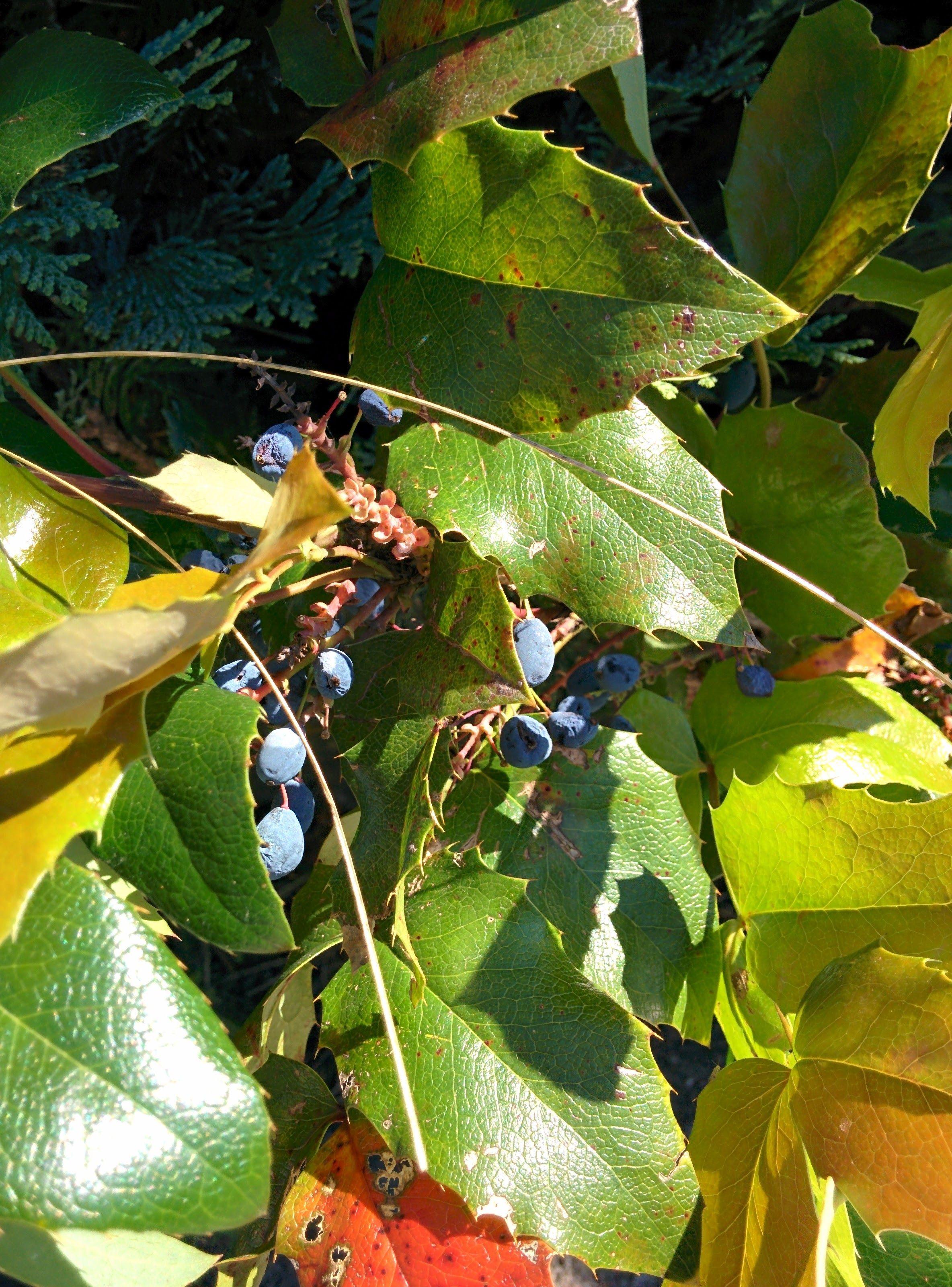 le mahonia faux houx ou mahonia feuilles de houx mahonia aqui permaculture et sauvage. Black Bedroom Furniture Sets. Home Design Ideas