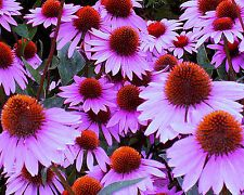 Coneflower Seeds Purple,Heirloom Wildflower, Non-Gmo Perennial Flower Seeds 75ct