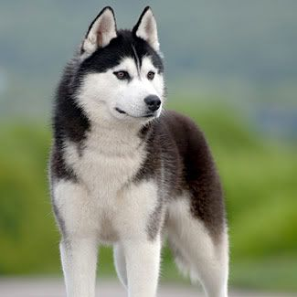 Though This Guy Is A Husky He S What I Envision As Andi S Malamute Just Think Bigger Dog Breeds Medium Siberian Husky Dog Best Medium Sized Dogs