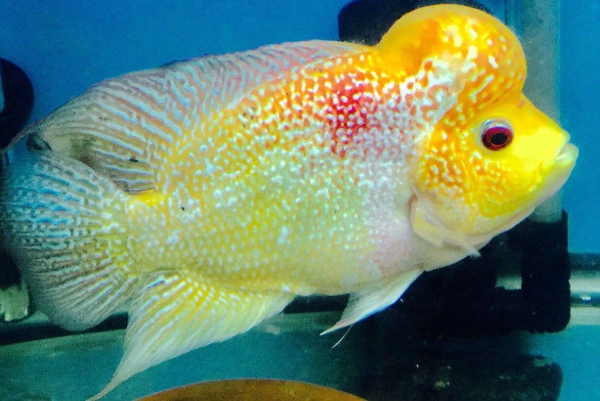 Flowerhorn Cichlid Fish Tropical Fish Aquarium Cichlid Fish Freshwater Aquarium Fish