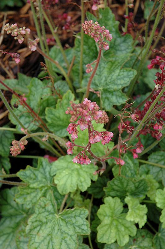 Berry Timeless Coral Bells (Heuchera \'Berry Timeless\') at TLC Garden ...