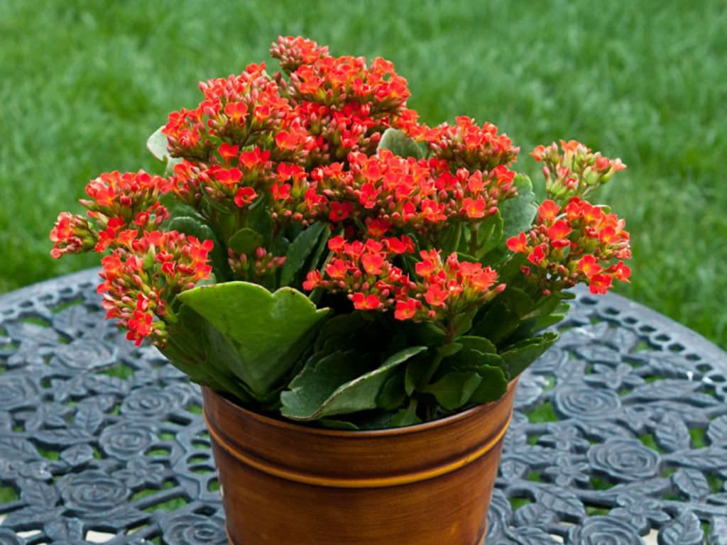 How to Grow and Care for Kalanchoe | Cacti & Succulents | Pinterest Can Kalanchoe Be Planted Outside on can see, can the lost tapes, can go, can get,