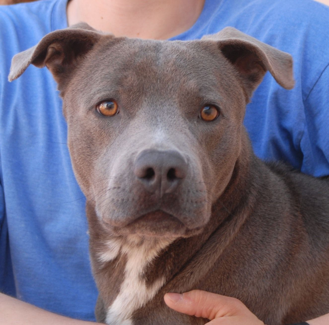 Merlot is a youngster with tremendous loving potential. With those he trusts, he shines! But Merlot is worried that strangers will hurt him. This is understandable -- he was found terrified in an abandoned, foreclosed home, abused and neglected. Merlot is a Heinz 57 with Bully & Sporting breeds, 1 year of age and neutered, and debuting for adoption today at Nevada SPCA (www.nevadaspca.org). Please help find Merlot a hero so he never again knows the betrayal of his trust and innocence.