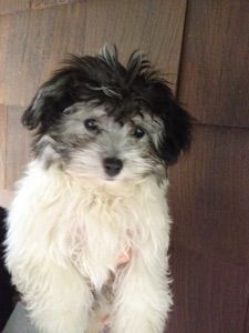 Blossom Havanese 845 706 0956 Text Available Blossompups Gmail Com Havanese Breeders Havanese Puppies