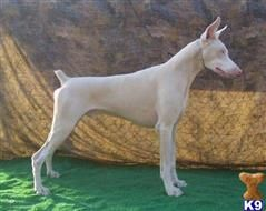 White Doberman Pinscher Google Search White Doberman Pinscher