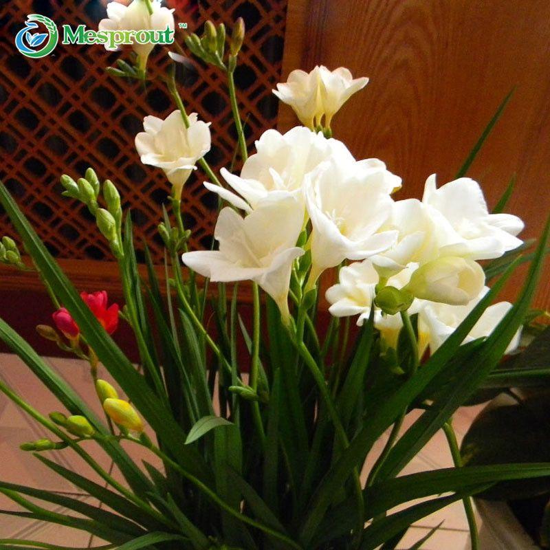 100pcs Freesia Bulbs Perfume Flower Seeds Home Garden Plant Perennial Decor Ebay Flower Seeds Garden Flowers Perennials Garden Bulbs