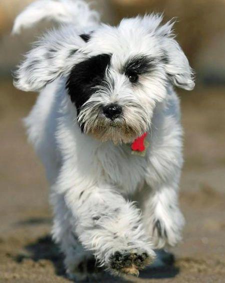 Tibetan Terrier Hunderassen Tiere Hund Hunde