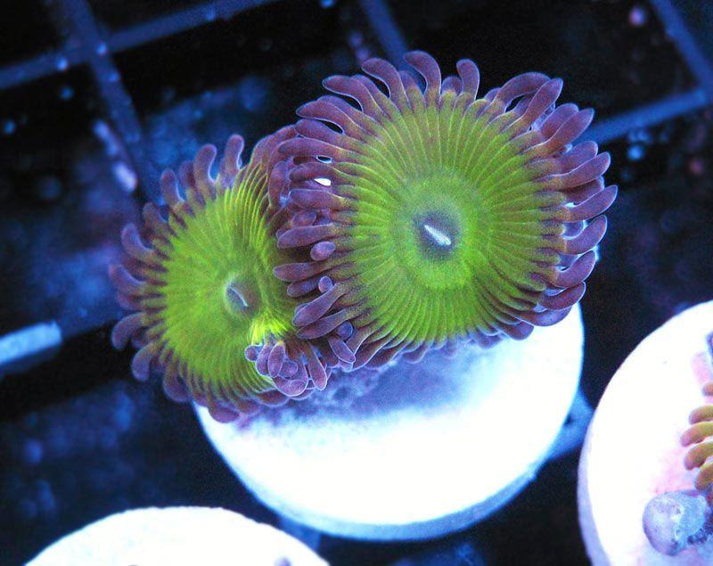 Spurtlegurggle Palys  http://FragJunky.com  http://Facebook.com/FragJunkyCorals