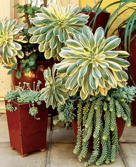 Succulents container garden