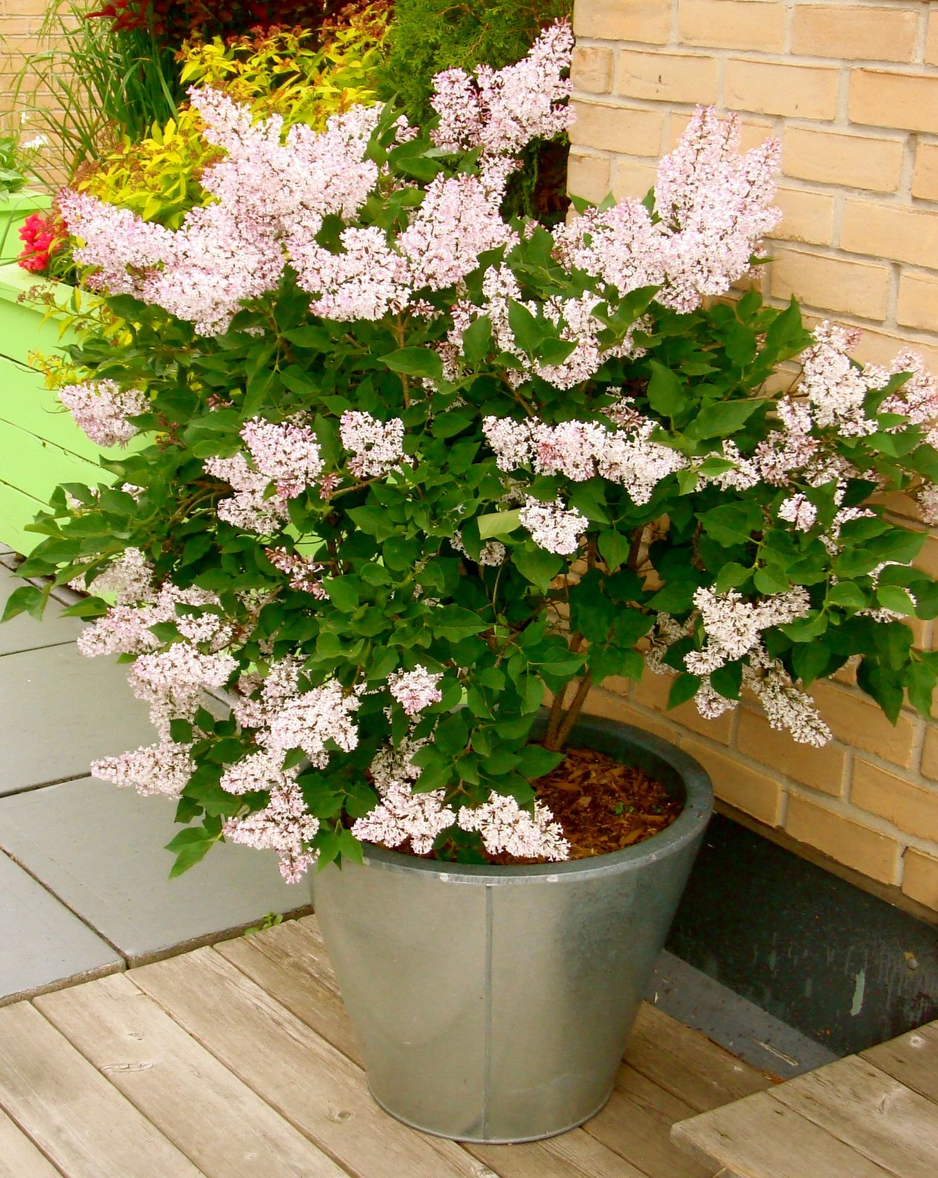 Roses In Garden: SHRUBS Why Limit Your Containers To Flowers? Shrubs Grow