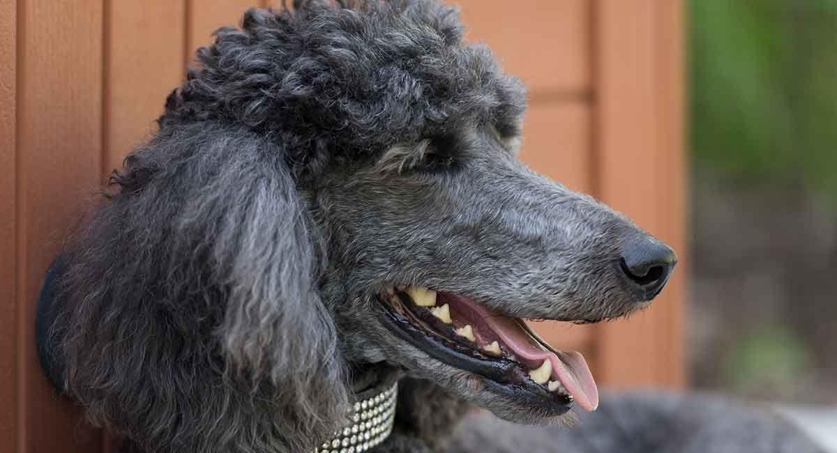 Standard Poodle Dog Breed Information Center Friendly Dog Breeds