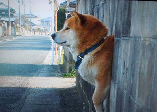 牆壁冒出萌狗頭 你根本是被卡住了吧 柴犬 動物 しばいぬ