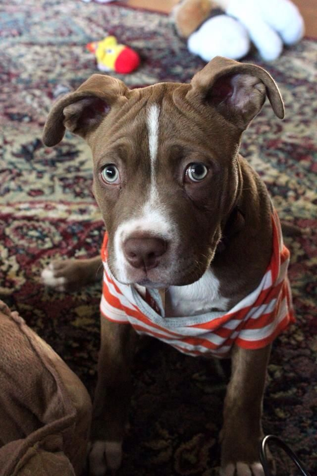 American Pitbull Terrier Puppy Dog Puppies Hound Dogs