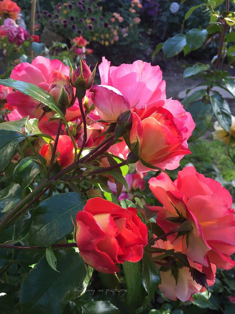Fabulous Roses  Grimm Multi Colour Reds Pinks Yellow Oranges Sweet  Fragrant Summer Garden