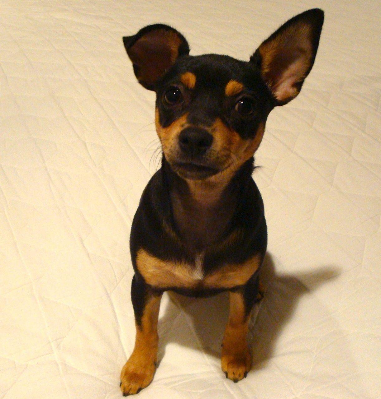 Chihuahua Min Pin Mix Omg It S Lucy S Twin Miniature Doberman
