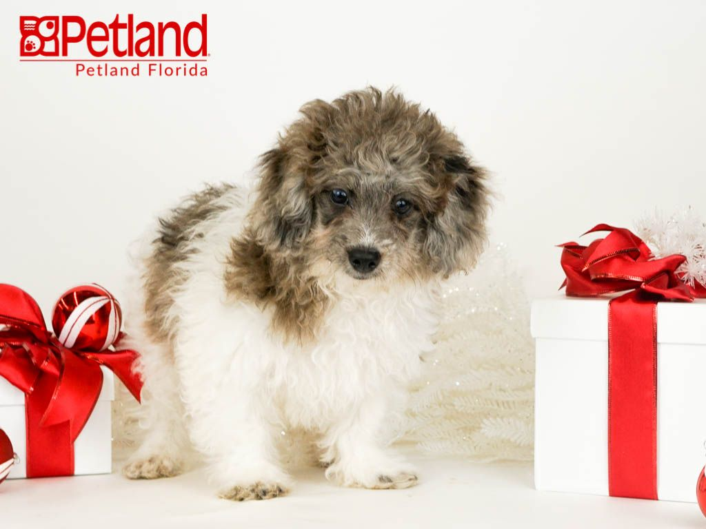 Petland Florida has Bichonpoo puppies for sale! Check out