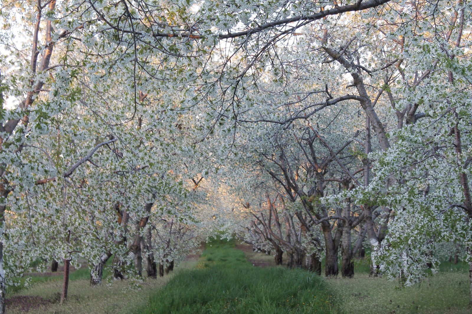 Cherry Blossoms In Traverse City Mi Traverse City Traverse City Mi Michigan Travel