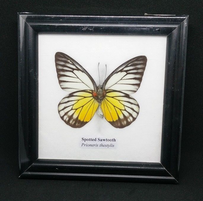 1 FRAMED REAL BEAUTIFUL Spotted Sawtooth BUTTERFLY DISPLAY INSECT ...