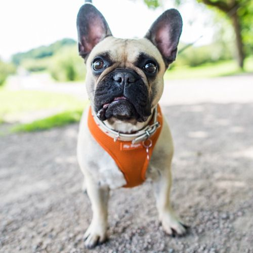 Sonya French Bulldog 1 Y O Frogner Park Oslo Norway Cute Dogs Dogs Animals