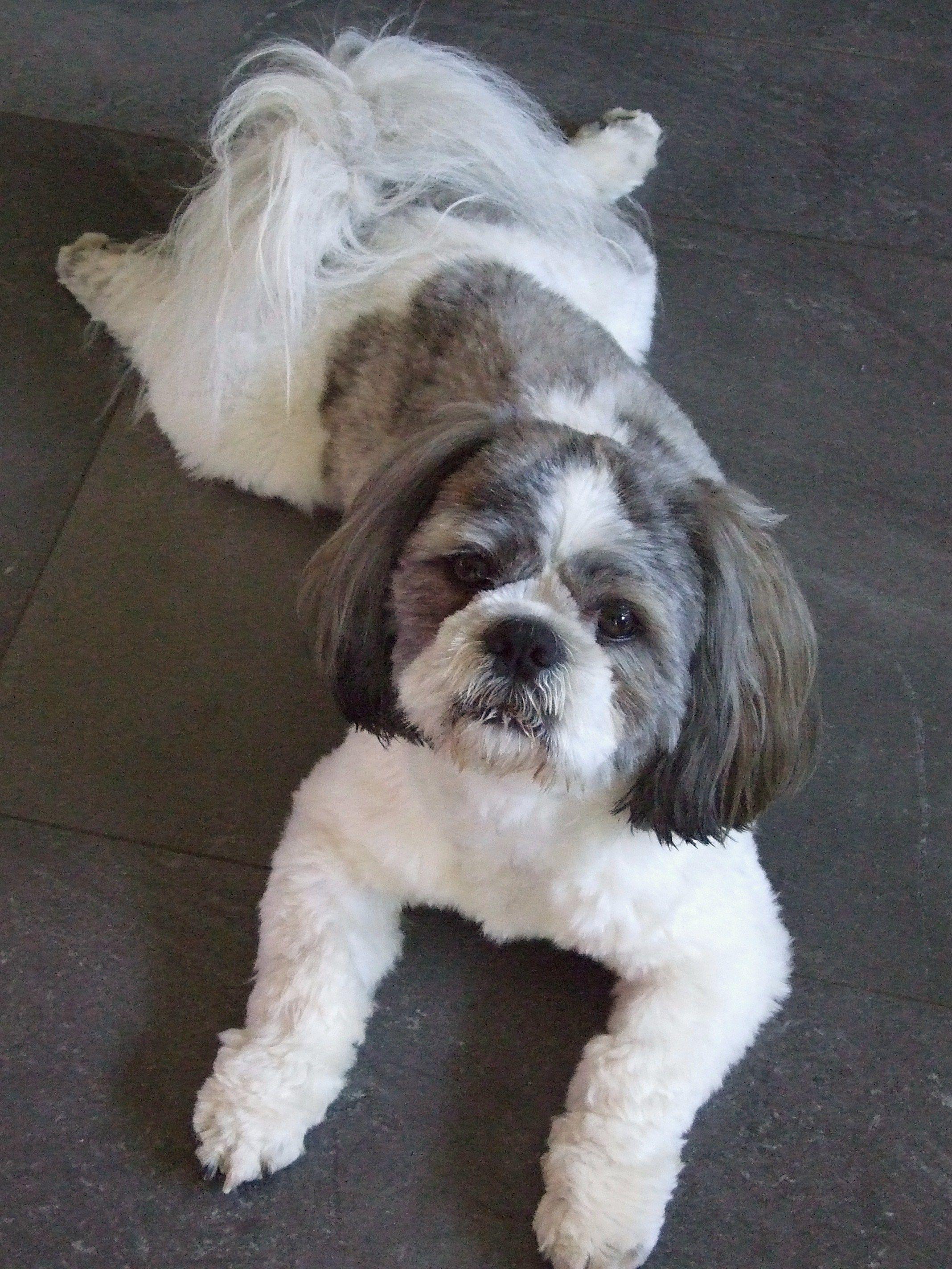 Lucky 38 Il A Chaud Shih Tzu Puppy Shih Tzu Dog Breeds