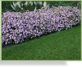 Seifenkraut: Blütenreich und pflegeleicht