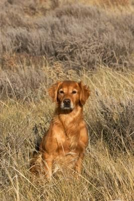 Hrch Wasatch S Golden Spike Golden Retriever Hunting Dog
