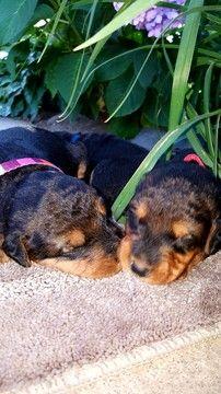 Litter Of 7 Airedale Terrier Puppies For Sale In Stillwater Mn Adn 39319 On Puppyfinder Com Gender Airedale Terrier Puppies Airedale Terrier Puppies For Sale
