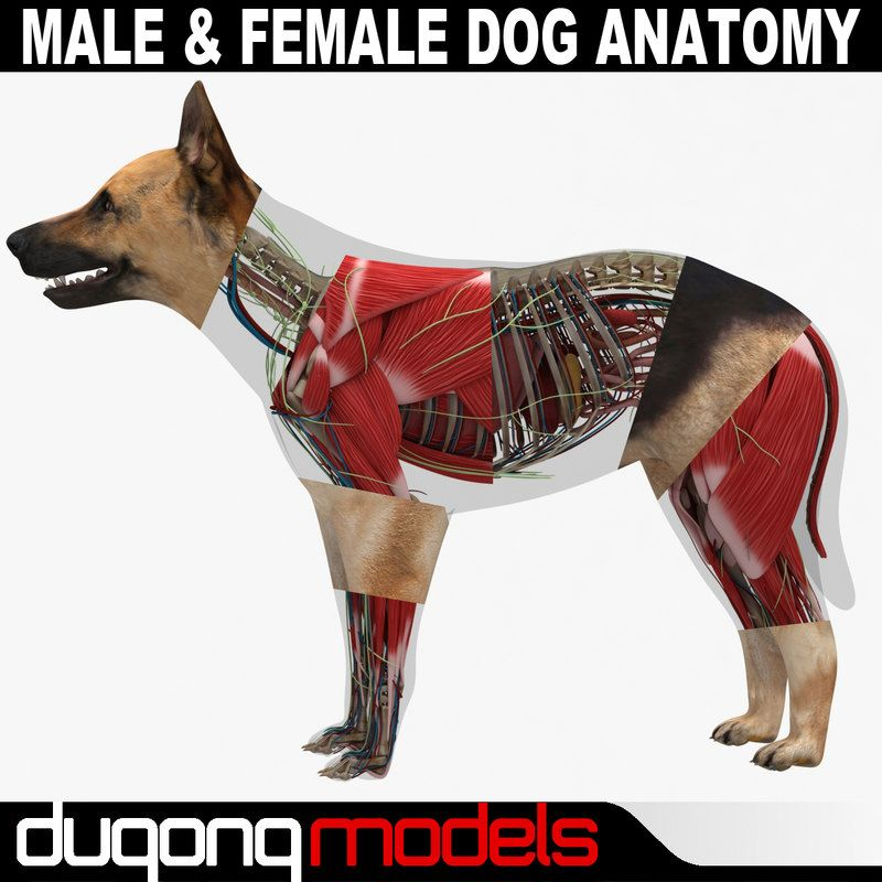 3d model dugm01 dog anatomy male female | Animals - 3D Models ...