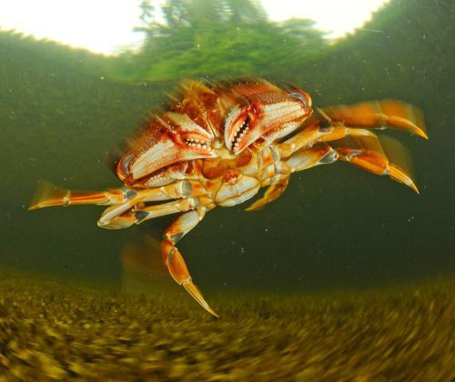 The Dugeness crab inhabits eelgrass beds and other shallow water...