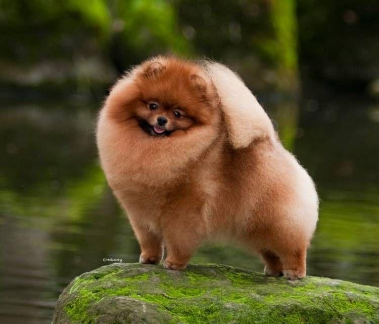 Pomeranian Toy Pom Pomeranian Breed Pomeranian Dog Dog Breeder