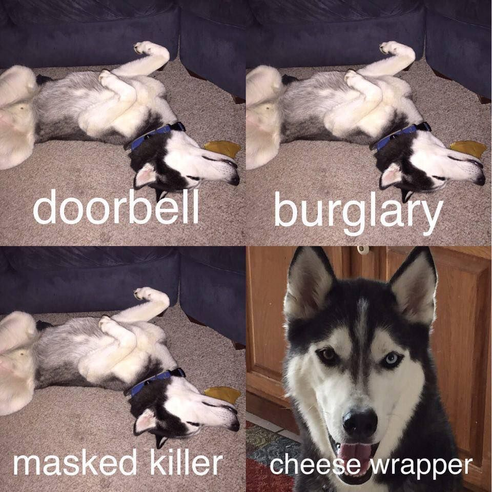 A well trained husky knows when to snap into action.  #husky #funsky #cheesewrapper