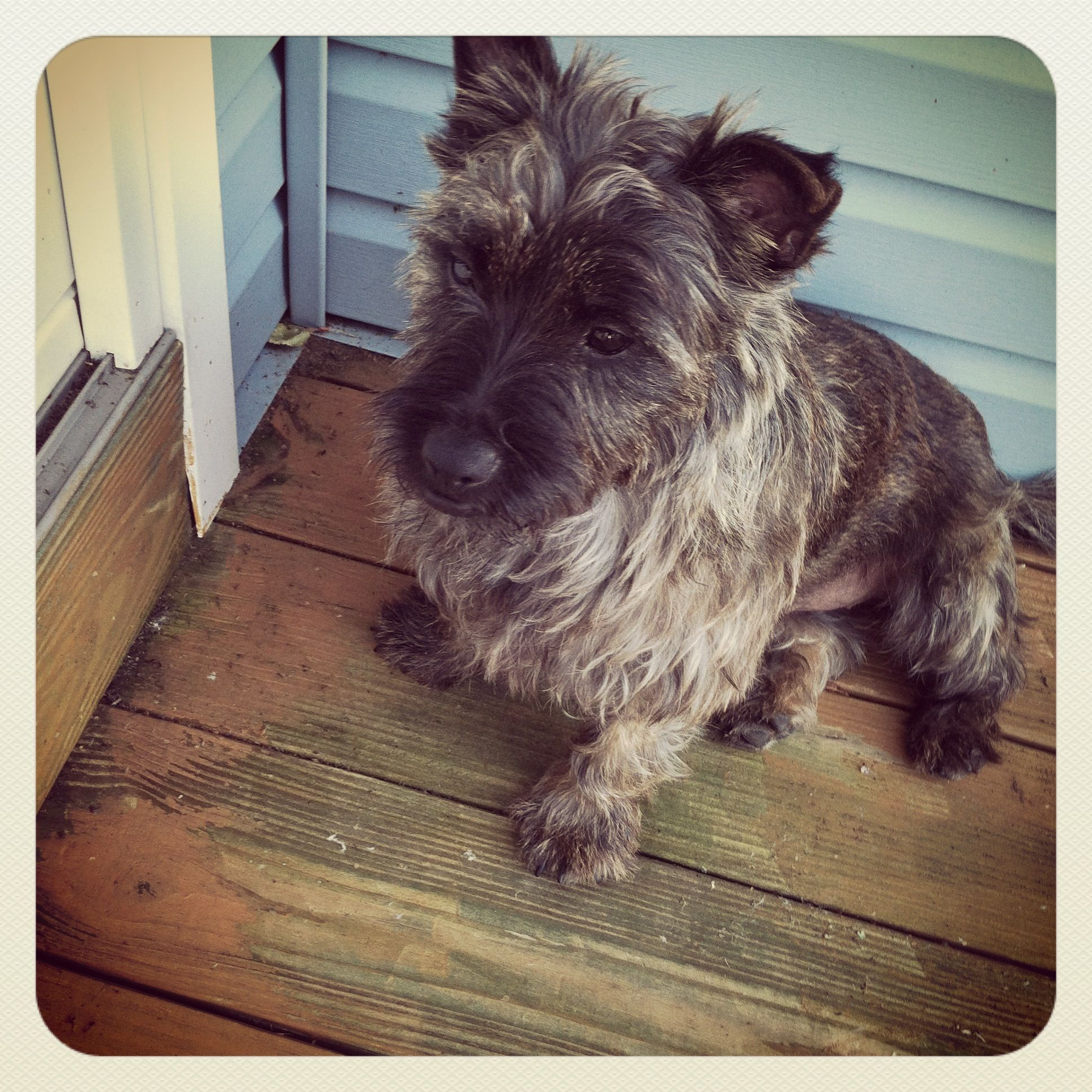 Love cairn terriers!
