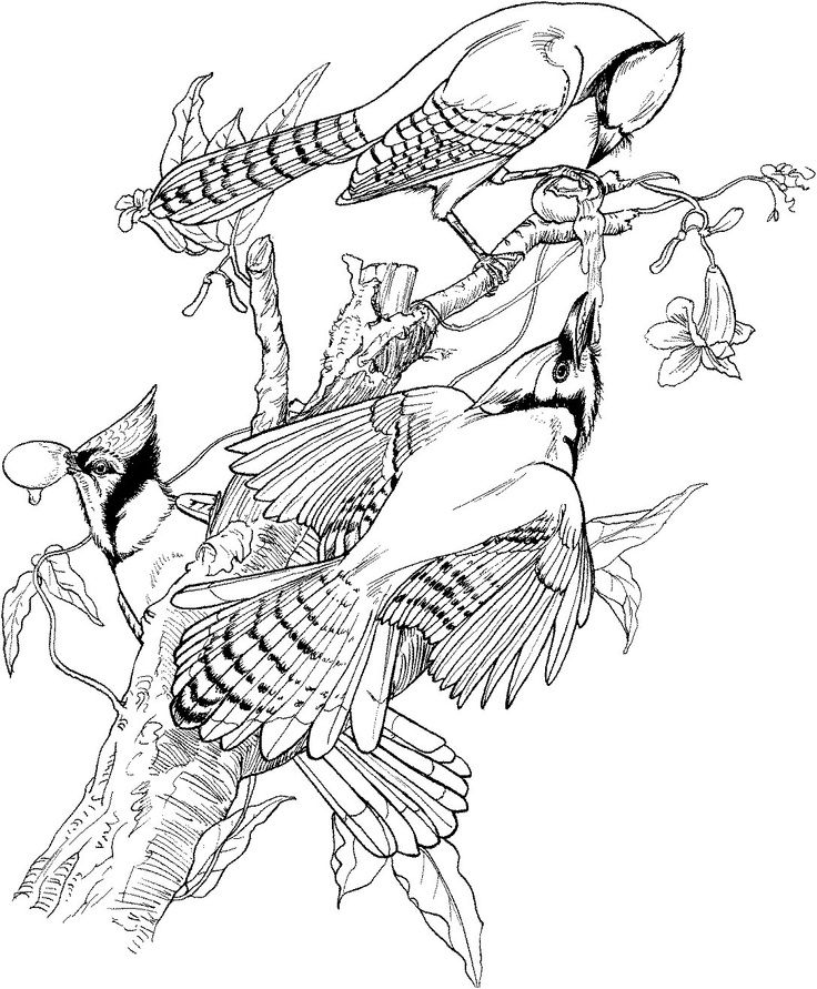 Blue Jay Coloring Page | Bird coloring pages, Coloring ...