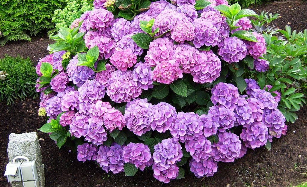 Bist Du Ein Neuling Unter Den Hobby-gärtnern? Dann Pflanze Dir ... Hortensien Pflege Lernen Sie Wie Sie Ihre Zimmerpflanzen Pfoegen