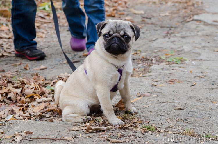 Our New Pug Puppy…Zoey Pug puppy, Cute pug puppies, Pugs