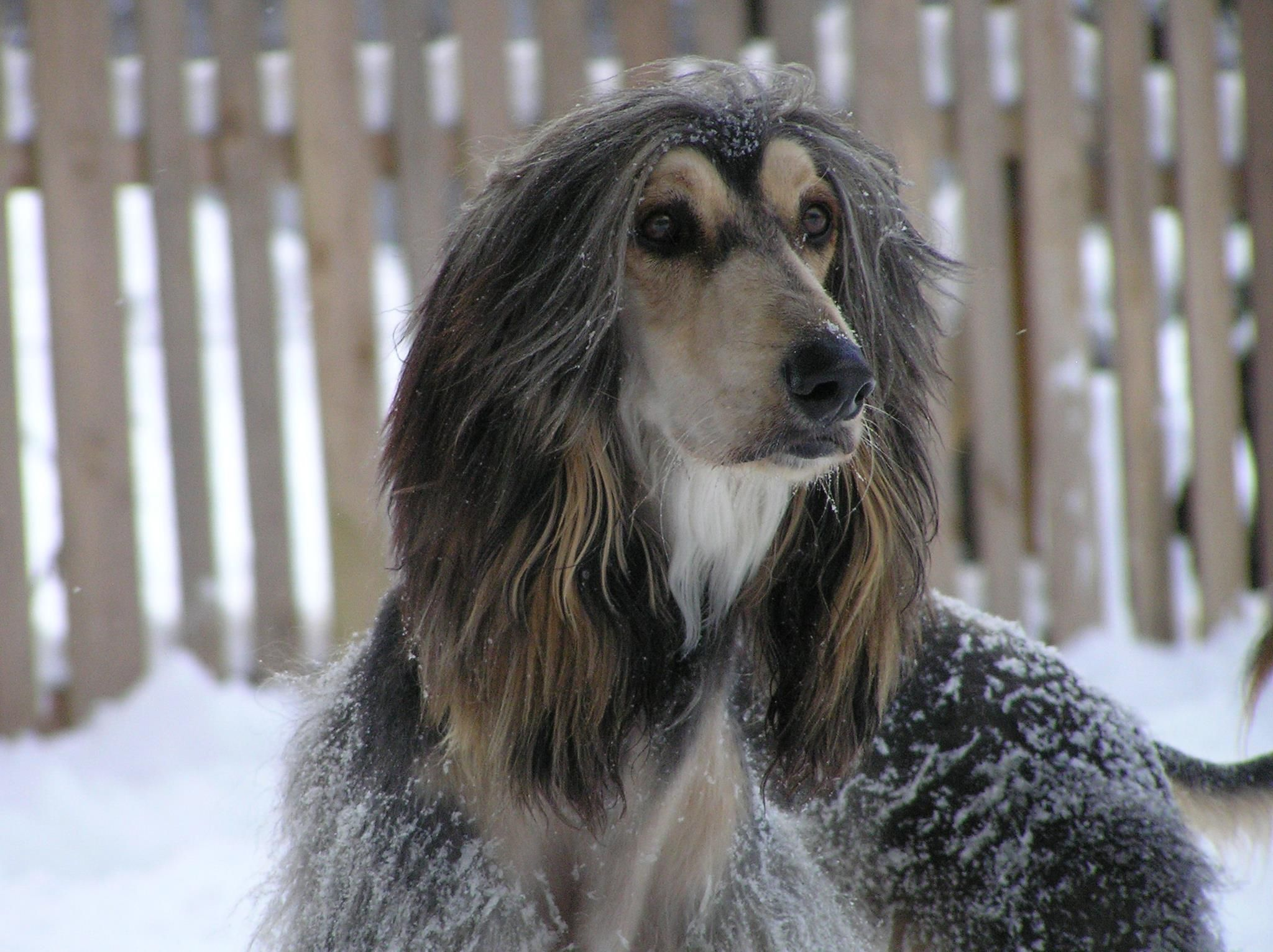 Pin By Patricia Price On Pets Dog Friends Afghan Hound Animal