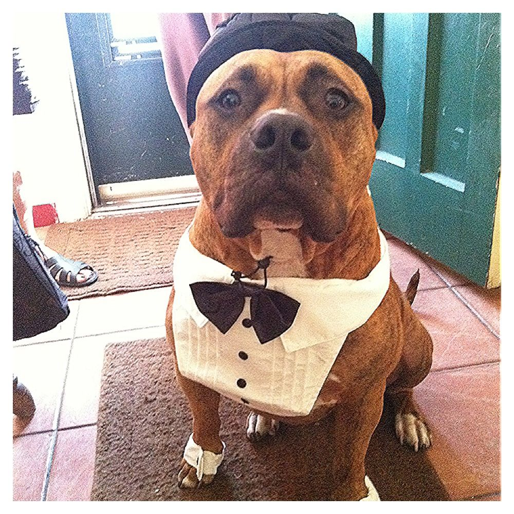 Junor in his tux #dontbullymybreed #pitbull#lovemypit
